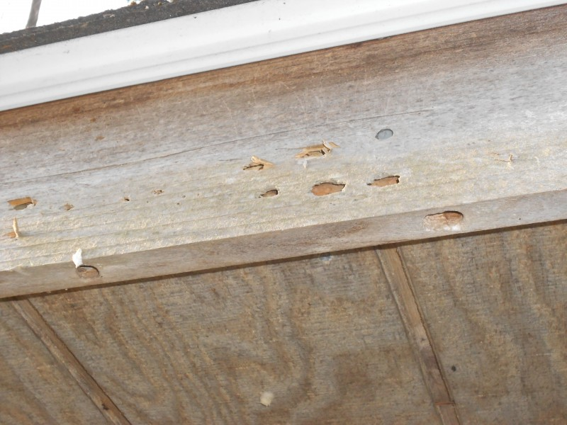 Carpenter bees turning my facia into Swiss Cheese!