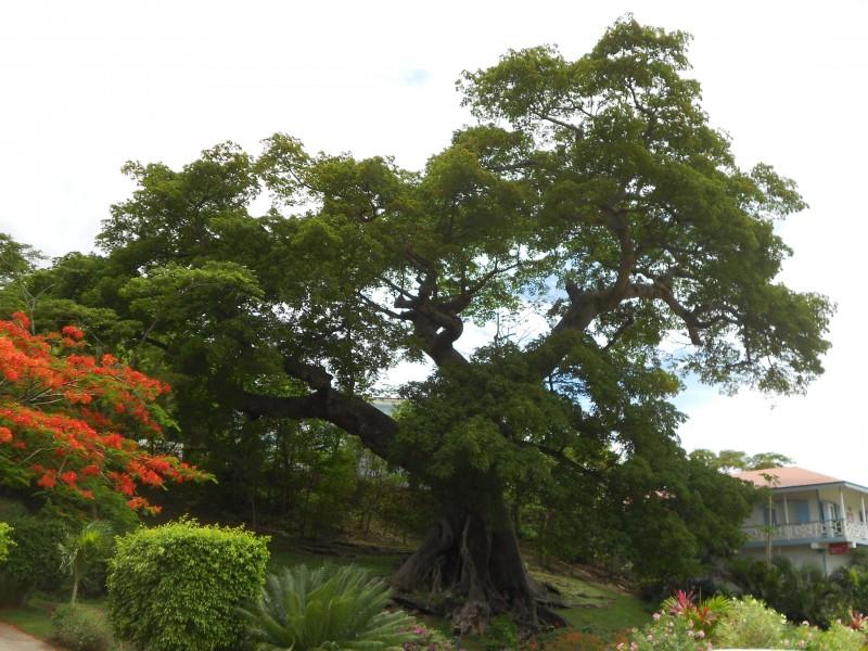 Huge Grenadian tree.