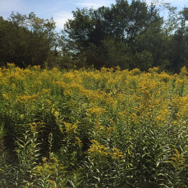 Field of golden rod.