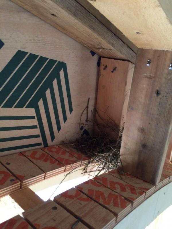 Dove building a nest inside the Hobbit House.